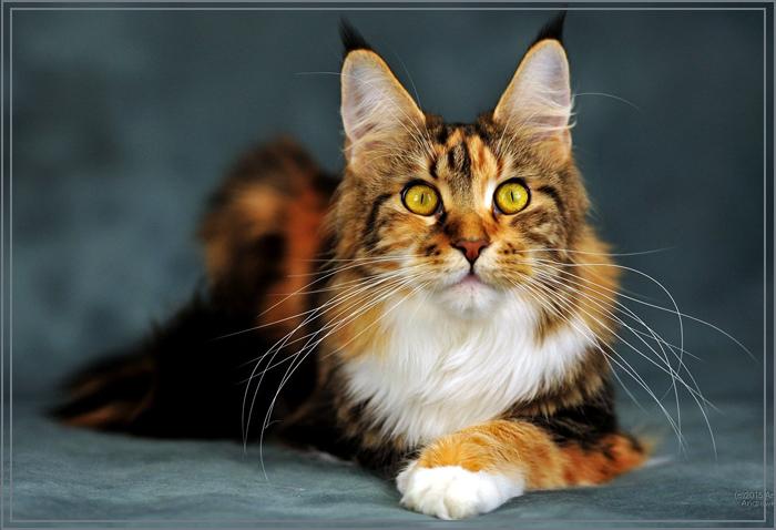 Кошка породы майкун фото