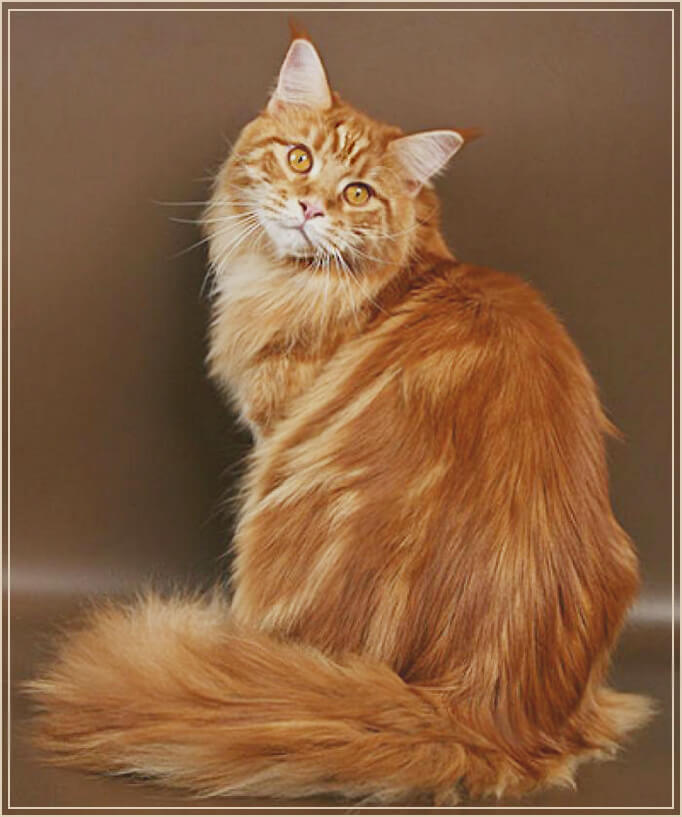 Кошка породы мейнкун фото
