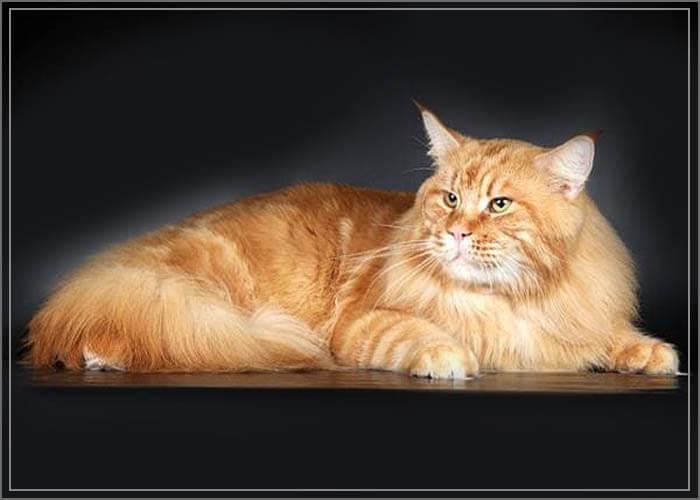Самый большой кот мейн кун фото