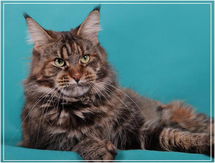 Мейн кун фото взрослых котов