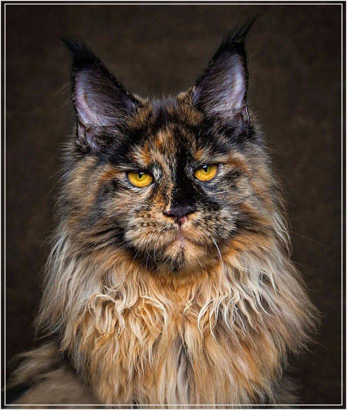 Красивые коты мейн куны