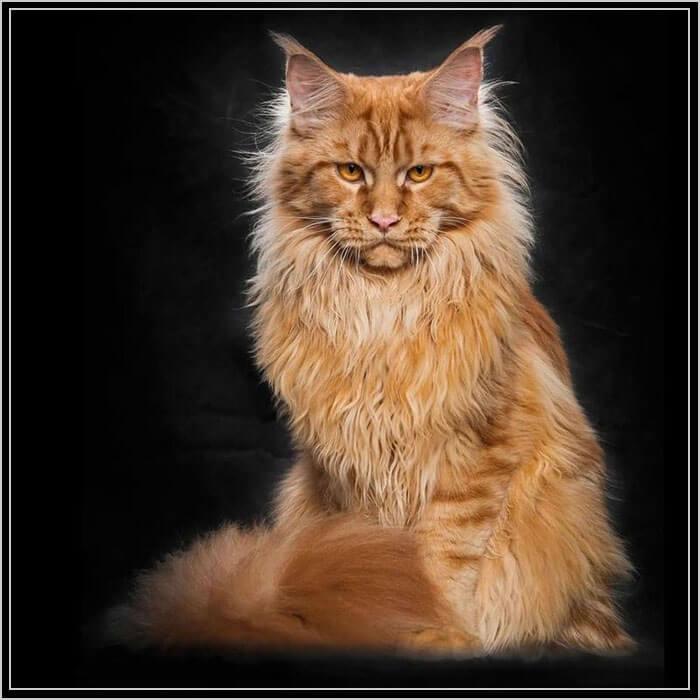 Рыжие коты мейн куны