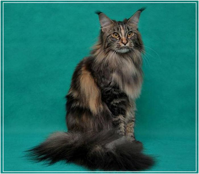 Порода котов мейн-куны