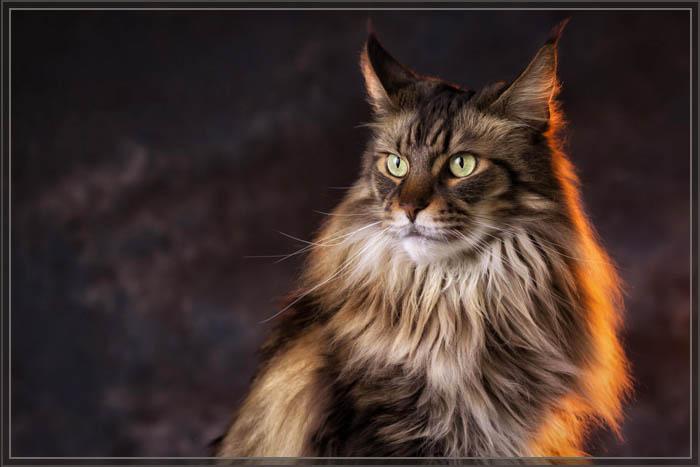 Фото кошек мейн кунов
