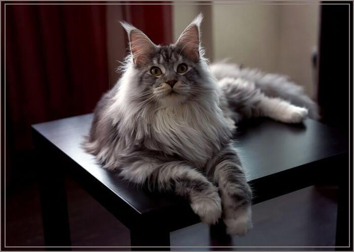 Большие коты мейн куны