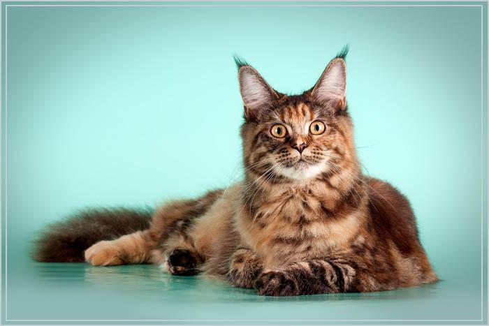 Кошка породы мейнкун