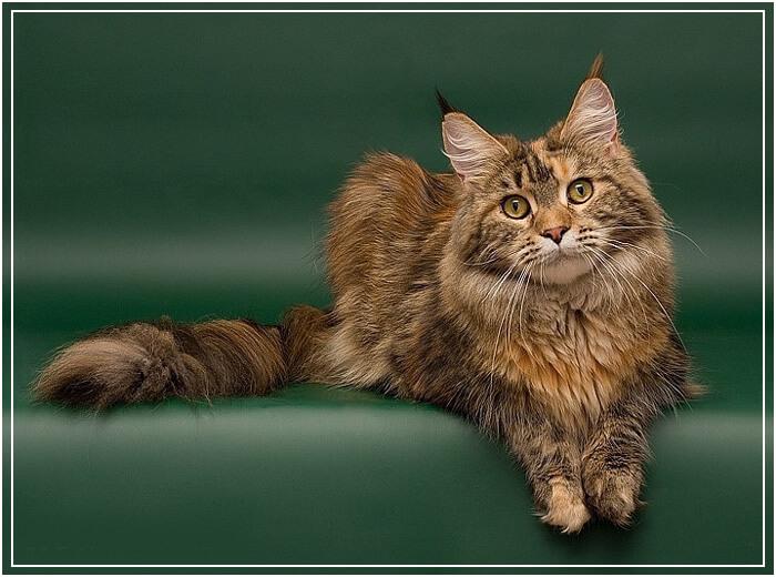 Фото котов мейнкуны