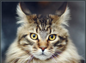 Коты мейн-куны взрослые фото