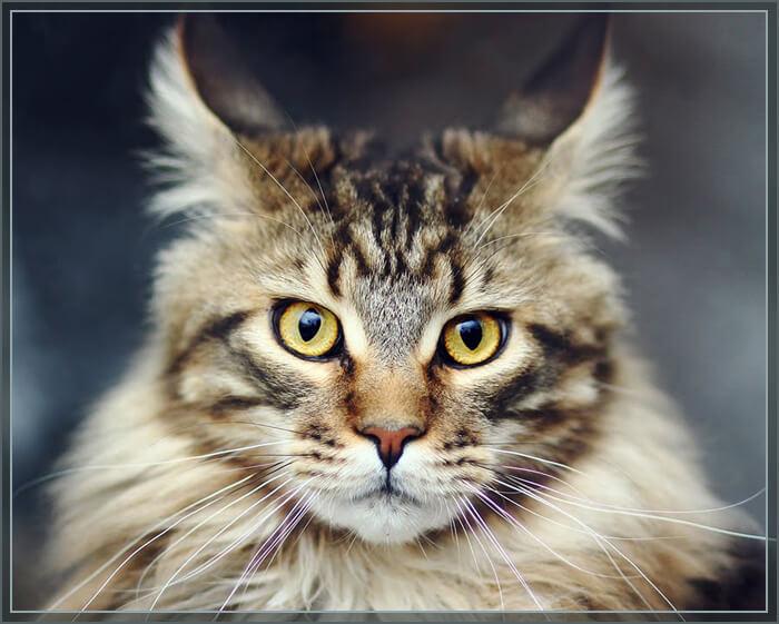 Фото кошки породы мейн кун