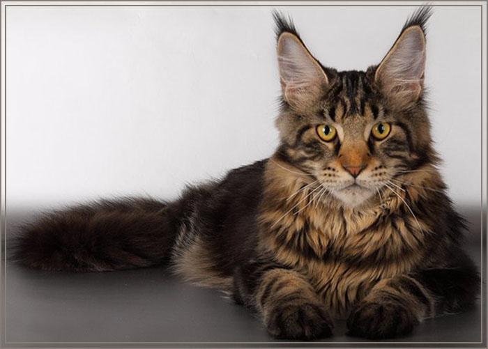 Кошка мейн-куна фото