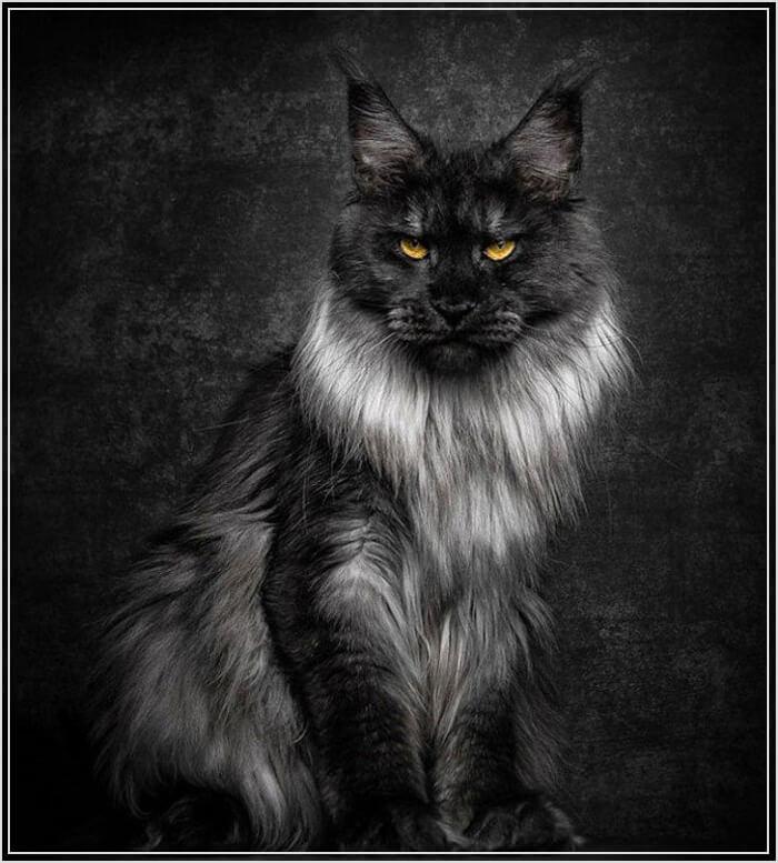 Черный мейн-кун фото