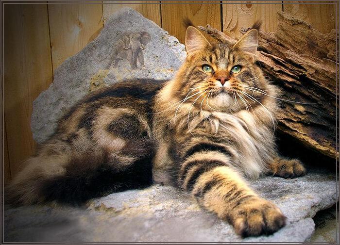Майкун кот