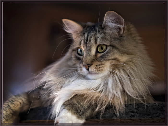 Мейн-кун кошки красивые фото