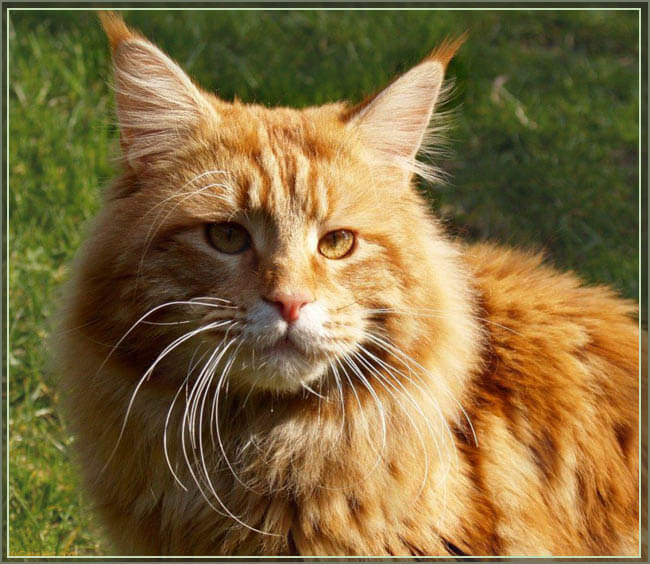 Кот мейн кун фото
