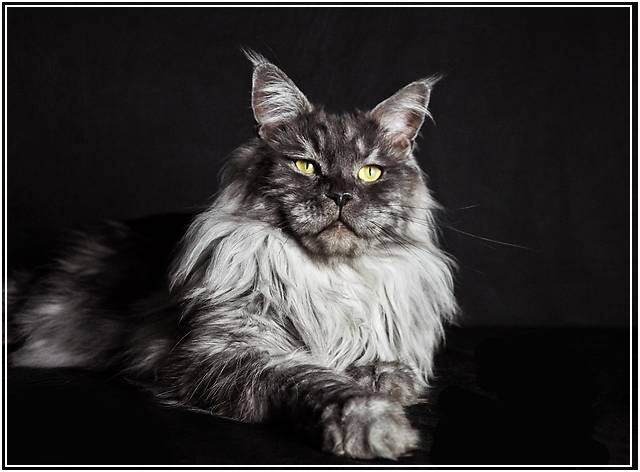 Мейн кун - самый большой кот