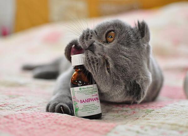 Кот с валерьянкой прикольное фото